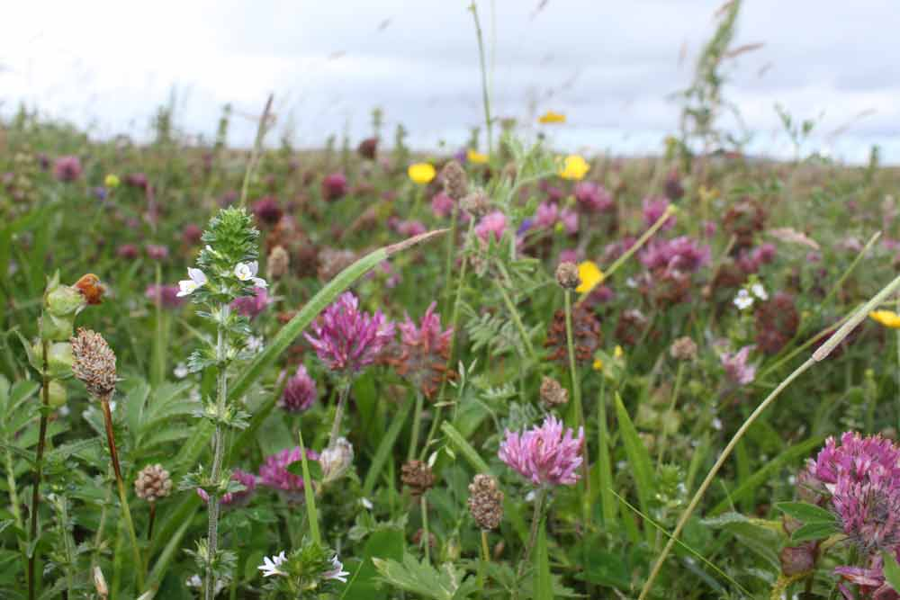 Kirsty Lorenz, Wild flowers in Baleshare Machair